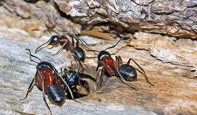 How to Deal with Carpenter Ants in Toronto?